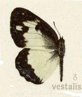 Image of <i>Colotis vestalis</i> (Butler 1876)