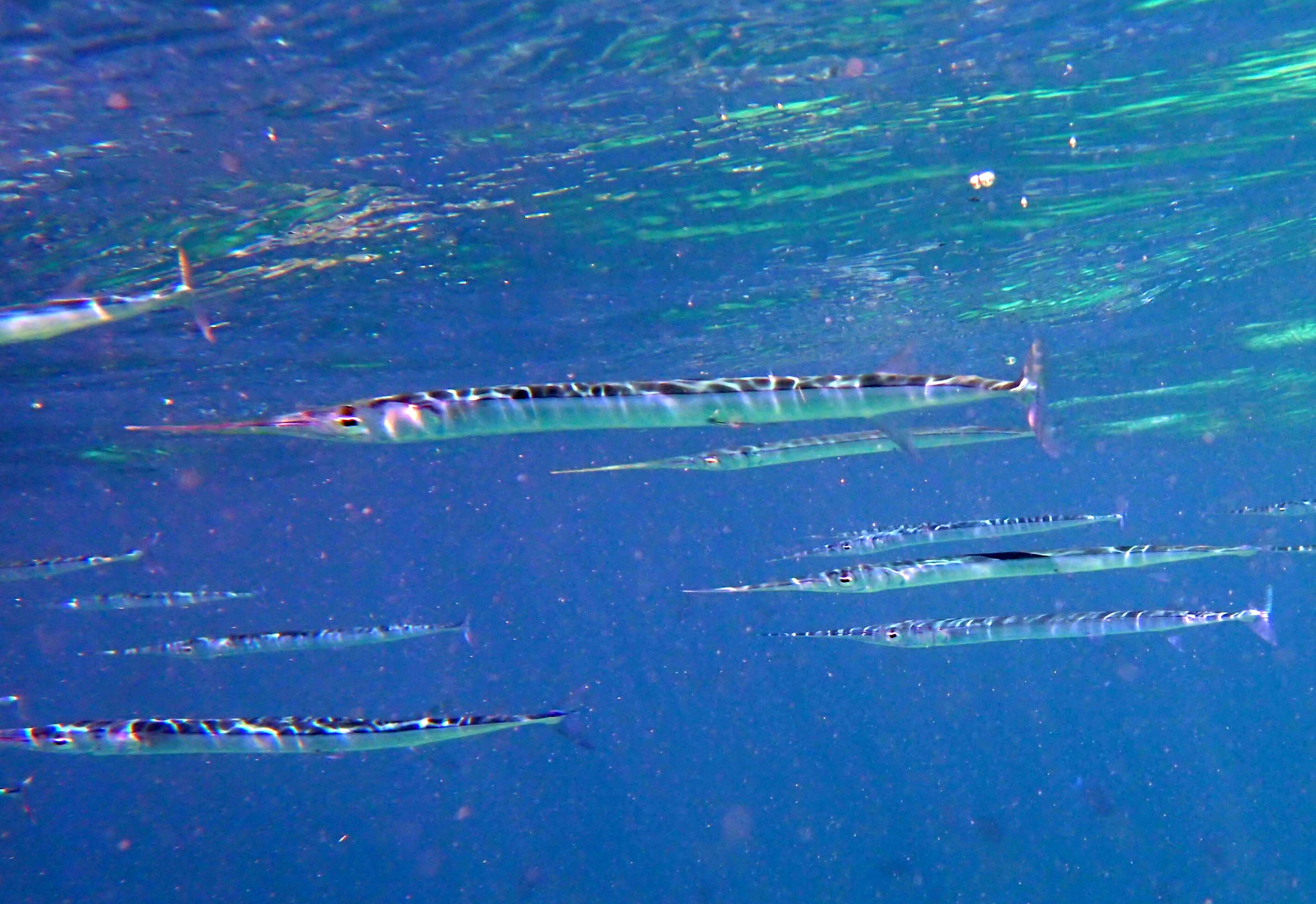 Image of Keeltail Needlefish