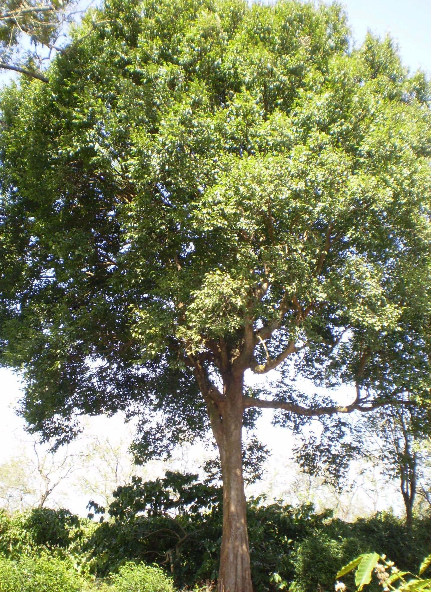 Image of <i>Irvingia malayana</i> Oliv. ex A. W. Benn.