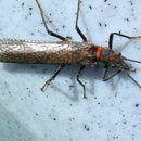 Image of giant stoneflies