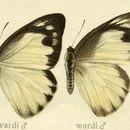 Image of <i>Appias wardii</i> (Moore 1884)