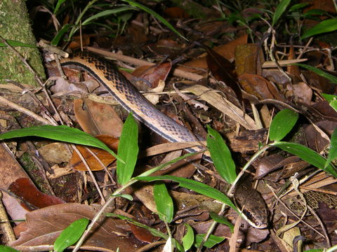 Image of Liopholidophis