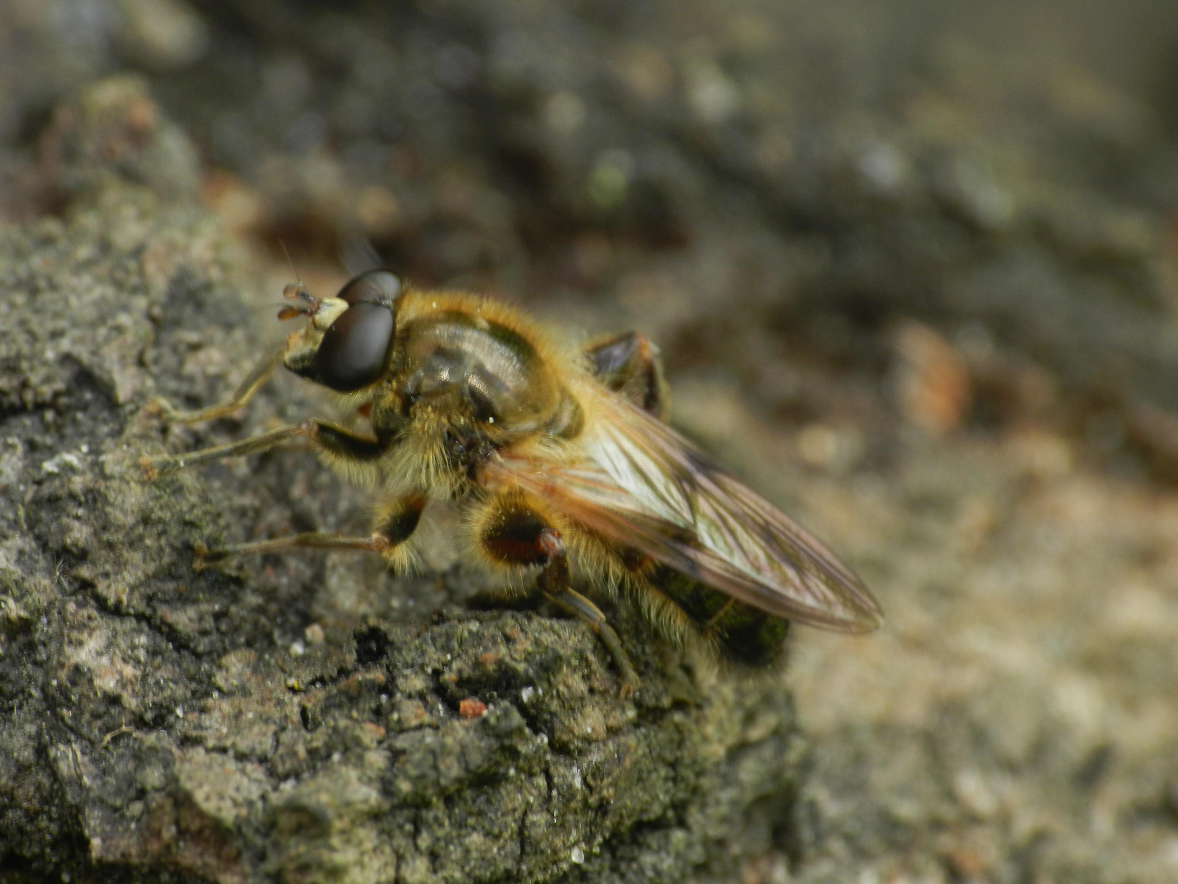 Image of <i>Brachypalpus laphriformis</i>