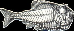 Image of hatchetfishes