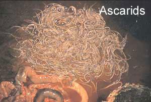 Image of Ascaridida
