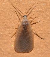 Image of <i>Merope tuber</i> Newman 1838