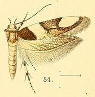 Image of <i>Alloclita gambiella</i>