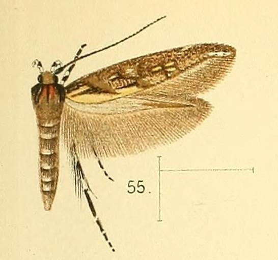 Image of <i>Eteobalea quinquecristata</i>