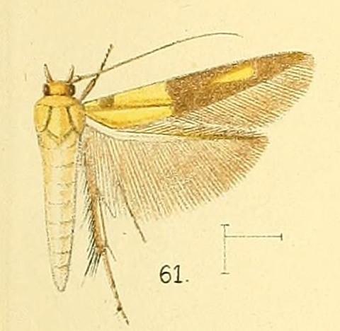 Image of <i>Stathmopoda auriferella</i> Walker 1864