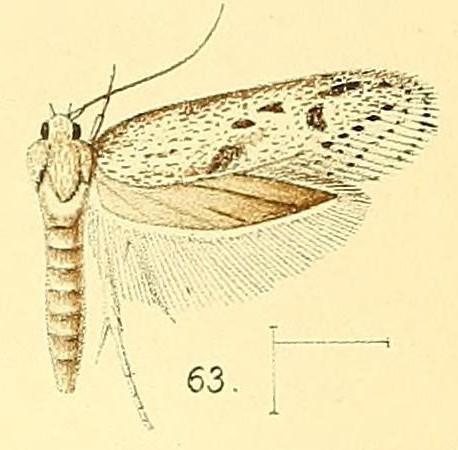 Image of <i>Holcocera irroratella</i>
