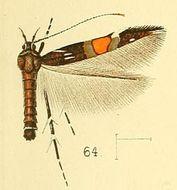 Image of <i>Cosmopterix cognita</i> Walsingham 1891