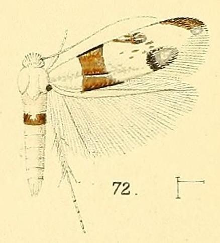Image of <i>Micropostega aeneofasciata</i> Walsingham 1891