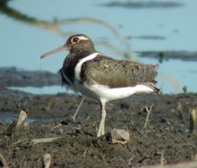 Image of Australian Painted-snipe