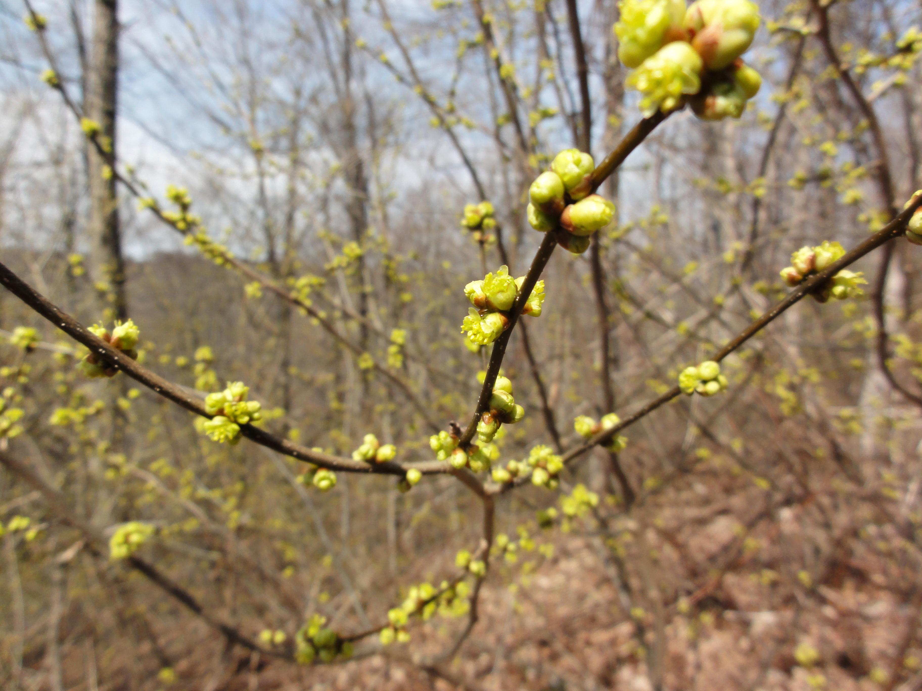 Image of northern spicebush