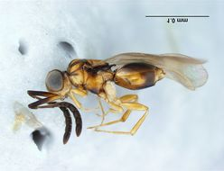 Image of ceraphronid wasps