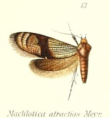 Image of <i>Neomachlotica atractias</i> Meyrick 1909