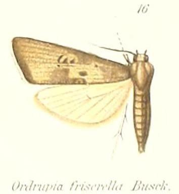 Image of <i>Ordrupia friserella</i> Busck 1911