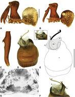 Image of <i>Zephyrarchaea barrettae</i> Rix & Harvey 2012