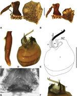 Image of <i>Zephyrarchaea janineae</i> Rix & Harvey 2012