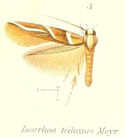 Image of <i>Isorrhoa triloxias</i> Meyrick 1907