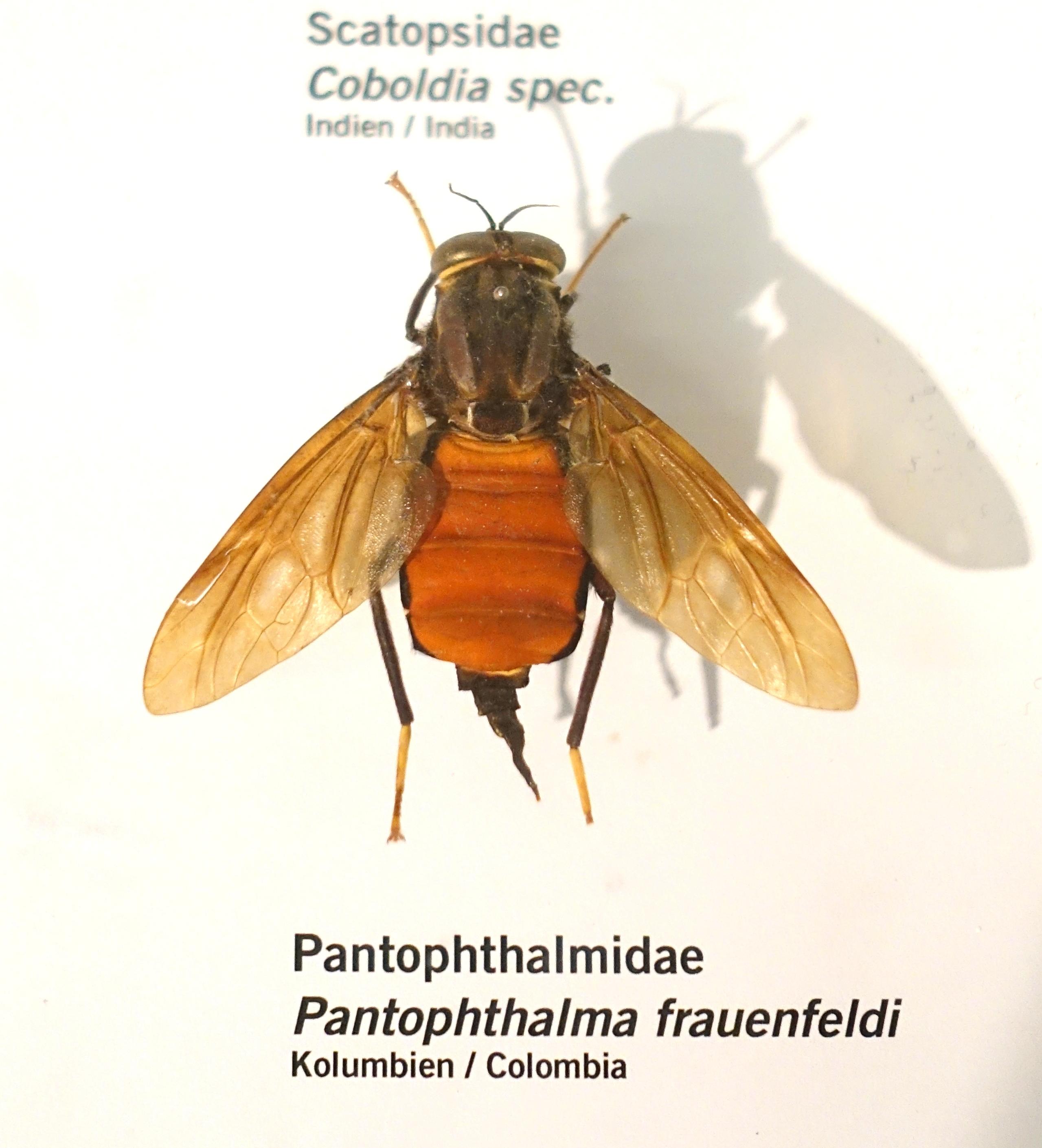 Image of Pantophthalmus