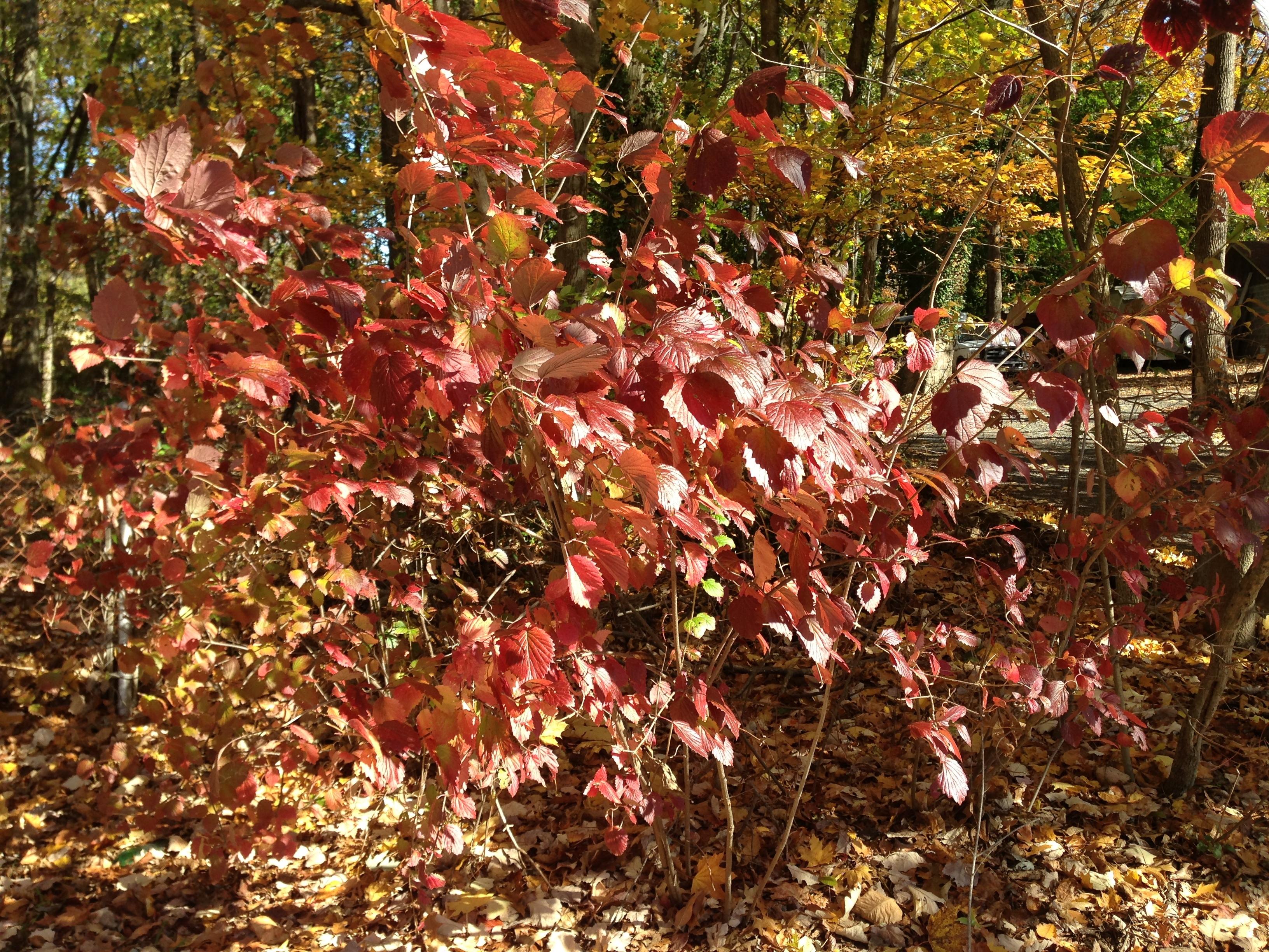 Image of southern arrowwood