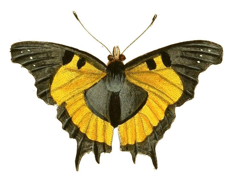 Image of <i>Antanartia delius</i> Drury 1782
