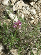 Image of Butterfly orchid
