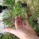 Image of <i>Anemarrhena asphodeloides</i> Bunge