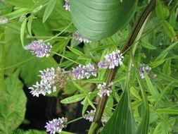 Image of <i>Orbexilum pedunculatum</i>