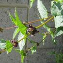 Image of Phlomoides