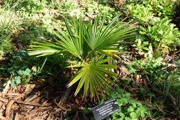 Image of Khasia Hills Fan Palm