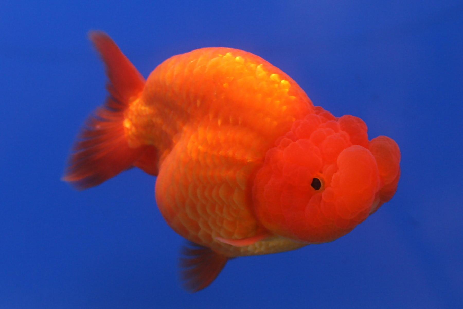 Image of Goldfish