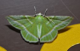Image of Showy Emerald