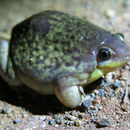 Image of shovelnose frogs