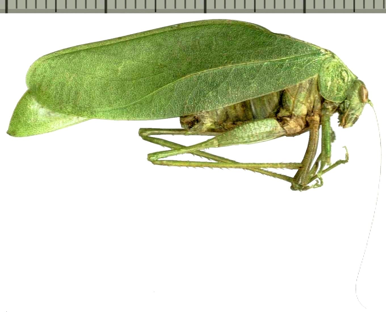 Image of Eurycorypha