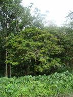 Image of pentaclethra