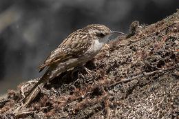 Image of Bar-tailed Tree-Creeper