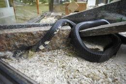 Image of Forest Cobra