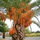 Image of Canary Island date palm