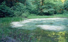 Image of Stonewort