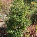Image of <i>Quercus salicina</i> Blume