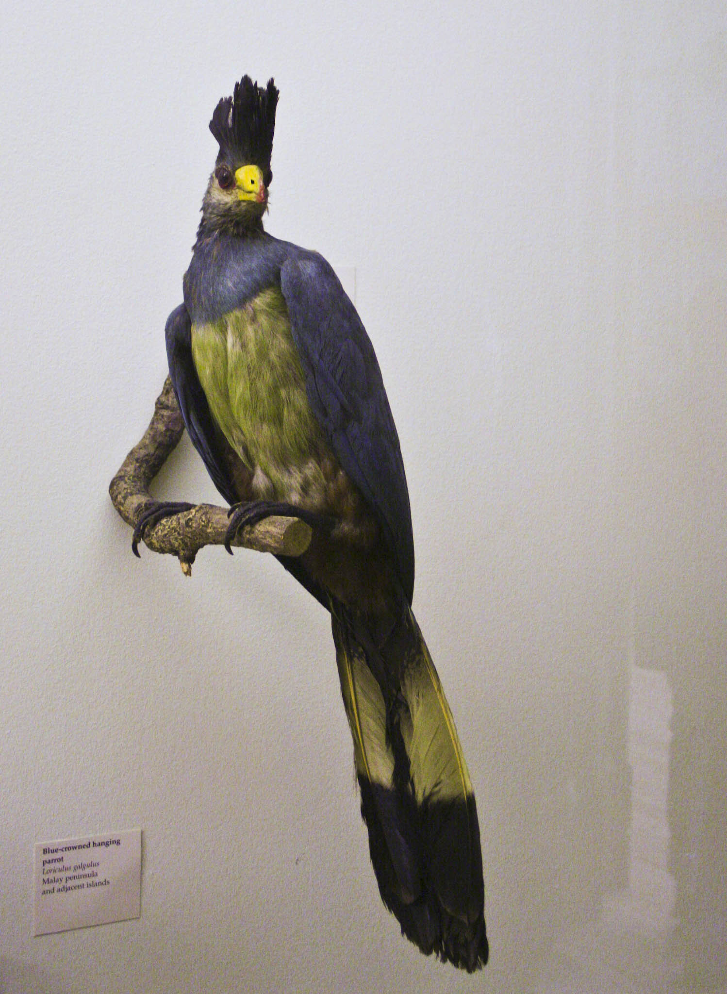 Image of Great Blue Turaco