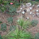 Image of serpentine reedgrass