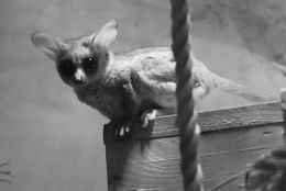 Image of Senegal Bushbaby