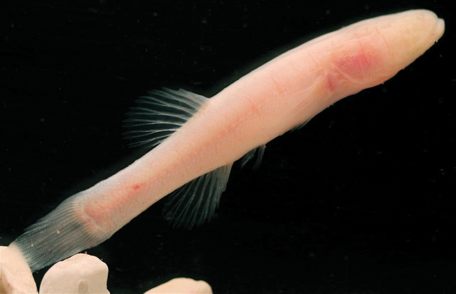 Image of Hoosier cavefish