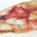 Image of Hoosier cavefish