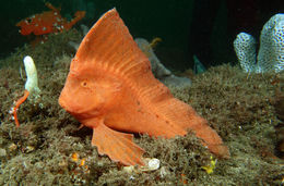 Image of Red Indian fish