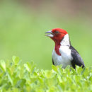 Image of Red-cowled Cardinal