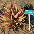 Image of <i>Aloe falcata</i> Baker